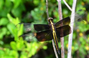 Dragonfly by pearchel