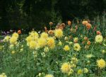 field with yellow dahlias by ingeline-art