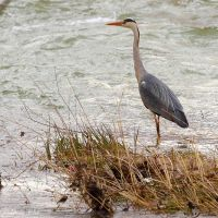 Grey heron in the river by Jorapache