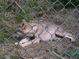 Wolves 11-August 2009 by MysticWolvesHowl