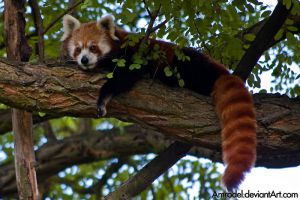 Red Panda On a Tree II by amrodel
