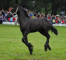 Friesian Foal Stock 01 by ponystock
