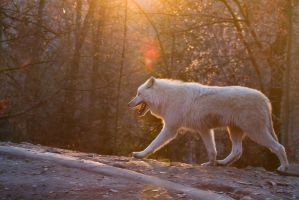 Wolf in sunset by Wolfling01