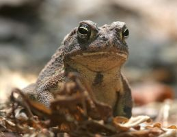 Fowler's Toad 20D0026391 by Cristian-M