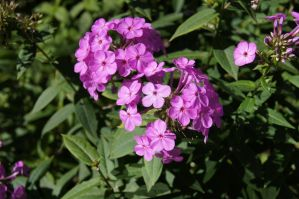 Phlox by TimeCollector