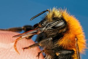 Finger Fed Bumblebee by dalantech