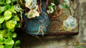 Spider on the backyard by MizoShu