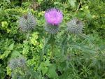 Single Pink Thistle by Pipala