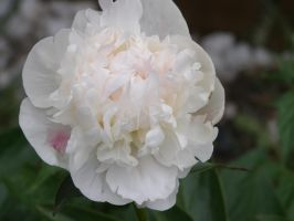 Snow White Peony by The--Enchantress