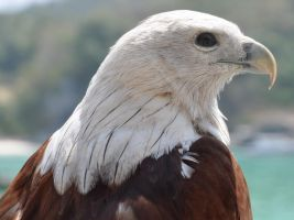 Brahminy Kite by nordfold