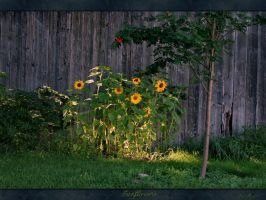 Sunflowers by danmoore