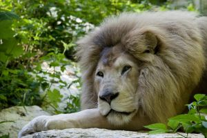 2056 - White Lion by Jay-Co