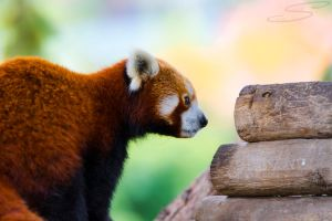 Red Panda 01 by Silk-Crea
