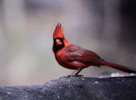Male Cardinal by TakeTheShot61