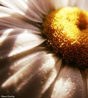 Shadows On Daisy by Ranae490