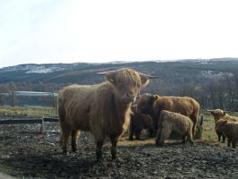 highland cows 2 by shaggly