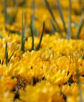 Yellow Spring time by NorthernLand