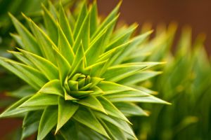 Monkey Puzzle copy by moose30