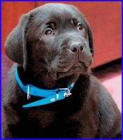 BLACK_LAB_PUPPY by cybaBABE