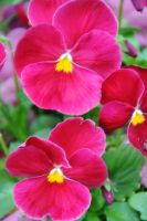Pink Pansy Flowers by LDFranklin