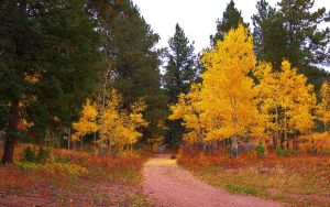 Aspen and Pine Pathway by greenunderground
