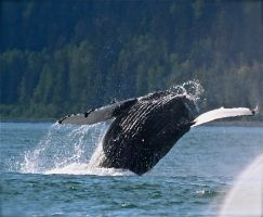 Whale 1 by athenaowl1999