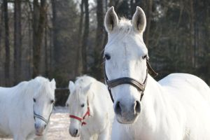 Lipizzaners 2 by EvaPolly