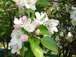 Apple Tree Blossoms 10 by FantasyStock