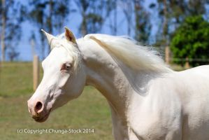 Kr Arabian cremello side view by Chunga-Stock