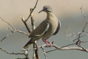 White-winged Dove by PatGoltz