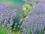 Dear Lavender, by Zelma1