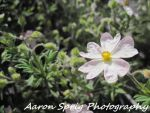 A flower by aaron-sprig