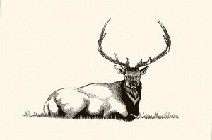 'Bull Elk in Repose' by TADASHI-STATION