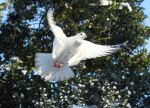 Dove Flying1 by Tasastock