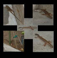 Lizzards mating then ouch by steelew