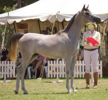 STOCK - TotR Arabians 2013-491 by fillyrox