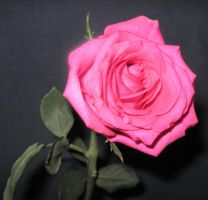 Pink Rose by YourFavoriteRussian