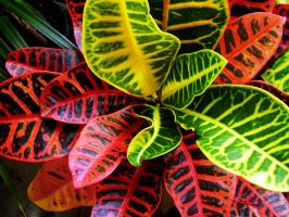 Colourful Croton by Pentacle5