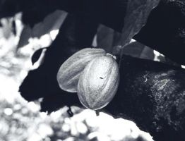 Theobroma cacao by gombloh75