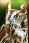 Screech Owl by lost-nomad07