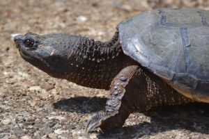 Common Snapping Turtle by wreckingball34