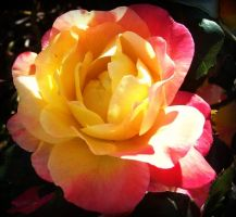 Multicolored Rose by Kaylalaperson