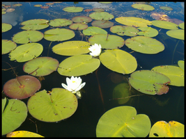 Lilypads by jwall77