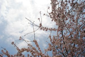 cherry blossoms II by breakeric