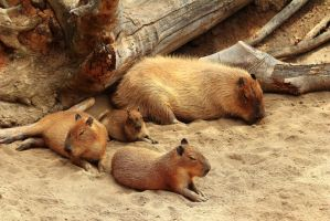The Capybara Family goes to the Beach by Celem