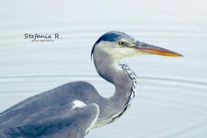 Grey Heron by Stefania-R