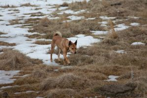 Dog -- prowling by oddmountain