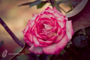 Rose and drops by fahadee