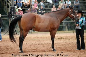Quarter Horse 81 by EquineStockImagery