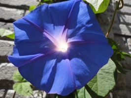 Blue Morning Glory Flower by Jazmine51397